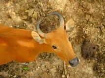 Красная корова Стоковая Фотография RF