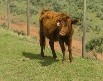 Красная корова Dexter, рассматривала редкую породу, стоя смотрящ на камеру в зеленом выгоне стоковое фото rf