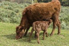 Красная корова Dexter, рассматривала редкую породу, с икрой выпивая от ее по мере того как она пасет на зеленой траве стоковые изображения rf