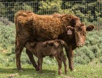 Красная корова Dexter, с заново рожденной икрой выпивая ее молоко стоковое изображение