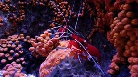 Красная креветка на коралловом рифе акции видеоматериалы