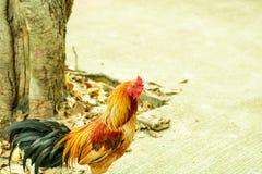Красная курица стоковое фото