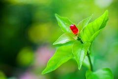 Красная лампа с зелеными лист, лампа СИД мировоззренческой доктрины спасения энергии ECO Стоковое Изображение