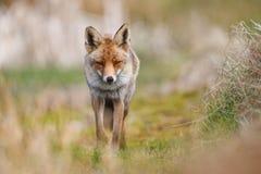 Красная лисица в сельской местности Стоковая Фотография