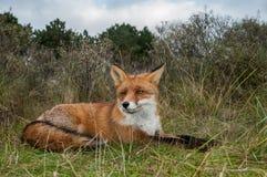 Красная лисица отдыхая в высокорослой траве Стоковое фото RF