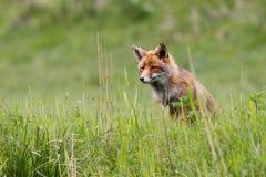 Красная лисица Стоковая Фотография RF