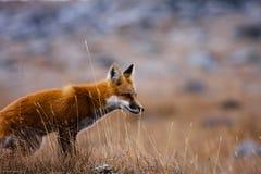 Красная лисица Стоковые Фото