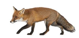 Красная лисица, vulpes Vulpes, 4 лет старого, гуляя Стоковая Фотография