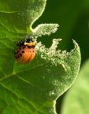 Красная личинка жука картошки Колорадо Бич сада стоковое изображение rf