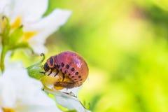 Красная личинка жука картошки Колорадо ест цветок белой картошки Конец-вверх насекомое-вредителя сада стоковое изображение