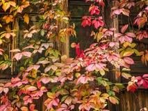 Красная лоза одичалых виноградин на окне абстрактная предпосылка Стоковая Фотография
