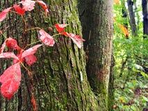 Красная лоза Стоковое Изображение RF