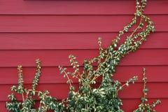 красная лоза Стоковая Фотография RF