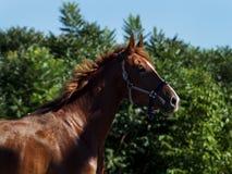 Красная лошадь бежать через поле Стоковая Фотография RF