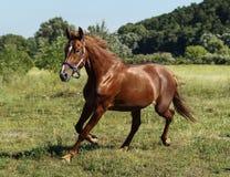 Красная лошадь бежать через поле Стоковые Изображения RF