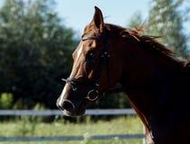 Красная лошадь бежать через поле Стоковая Фотография