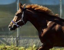Красная лошадь в paddock против неба Стоковые Фото