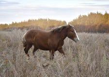 Красная лошадь скачет на траву осени стоковые изображения