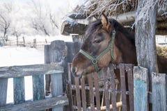Красная лошадь стоит в амбаре ручки сельском стоковые фотографии rf