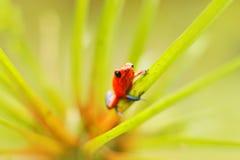 Красная лягушка дротика отравы клубники, pumilio Dendrobates, в среду обитания природы, Коста-Рика Портрет конца-вверх лягушки кр Стоковые Изображения RF