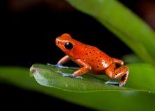 Красная лягушка дротика отравы Стоковые Изображения