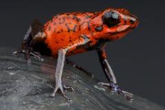 Красная лягушка дротика Стоковое Изображение