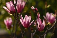 Красная магнолия Grandiflora Linn Стоковые Изображения