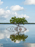 Красная мангрова в отмелом заливе стоковые фотографии rf