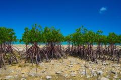 Красная мангрова в mucronata KAWAMITSU-ризофоры, Окинаве Prefectu стоковые изображения rf