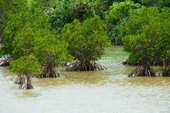 Красная мангрова в mucronata SHIMAJIRI-ризофоры, Окинаве Prefectu стоковое фото