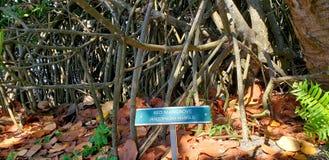 Красная мангрова стоковая фотография