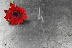 Красная маргаритка gerbera на ржавой предпосылке стоковое изображение