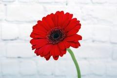 Красная маргаритка Gerbera стоковые изображения rf