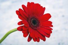 Красная маргаритка Gerbera стоковые фотографии rf