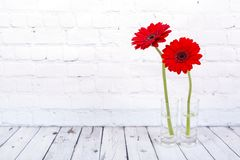 Красная маргаритка Gerbera стоковая фотография rf