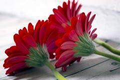 Красная маргаритка Gerbera стоковое фото rf