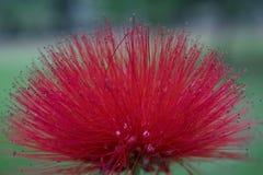 Красная мимоза макроса зацветает завод Mimosoideae стоковые изображения