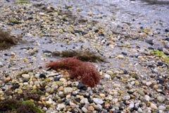 Красная морская водоросль на песчаном пляже Стоковое Изображение RF