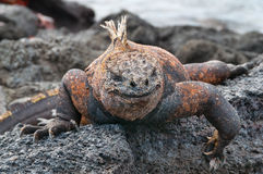 Красная мужская морская игуана Галапагос Стоковые Фотографии RF