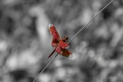 Красная муха дракона сидя на соломе перед черно-белой предпосылкой стоковая фотография