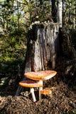 Красная муха пластинчатого гриба величает на дереве в лесе Стоковые Фото