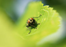Красная муха плоти глаза стоковые фотографии rf