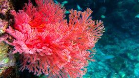 Красная мягкая стена om Frewen кораллов, раджа Ampat, Индонезия Стоковая Фотография RF