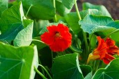 Красная настурция зацветает peeking вне изнутри листьев Стоковое Изображение RF