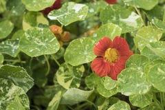 Красная настурция с Variegated листьями Стоковая Фотография RF