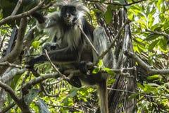 Красная обезьяна Colobus, Занзибар Стоковая Фотография RF