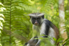 Красная обезьяна Colobuse Стоковое Фото