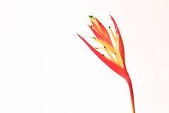 Красная орхидея на белой предпосылке Стоковые Фото