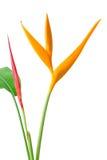Красная орхидея на белой предпосылке Стоковое Изображение RF