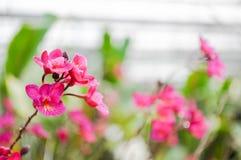 Красная орхидея в ферме орхидеи стоковые изображения rf